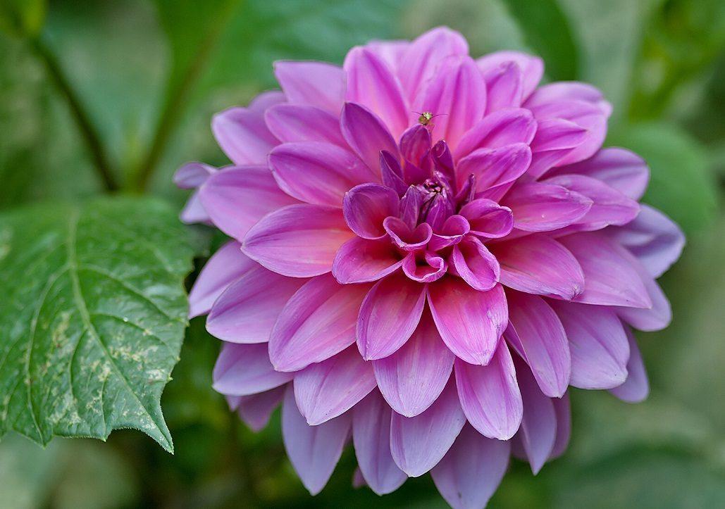 Fotos de dalias - Fotos flores preciosas ...